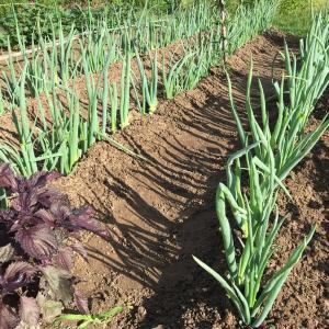 葱と茄子の管理 7月上旬の畑の様子