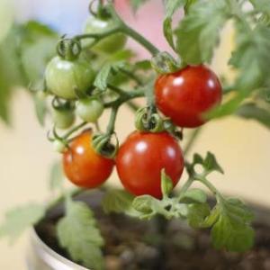 缶のままキッチンで育てるミニトマト栽培セット|種まきをして発芽を待っています