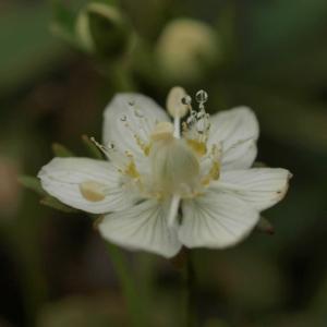 ウメバチソウ開花…霧の中の天山