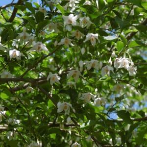 エゴノキの花とヤマツツジ