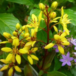 鮮やかで 小さな 黄色い花の コウシュンカズラ(恒春葛)