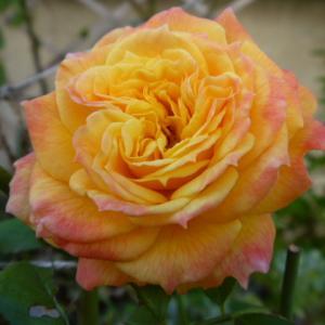 寒さの中 名無しのバラが 元気に 咲いてます