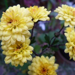 小さな 菊の花が 寒くたって 咲いてます