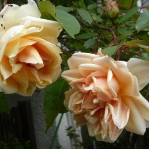 今年も咲きました レーヴ ドール