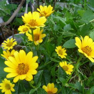 小さめの 黄色い ヒメヒマワリの花 咲いてます