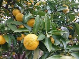 六十候・橘始黄 年の瀬