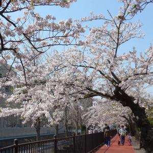 大船砂押川の桜