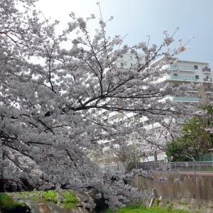 いたち川の桜