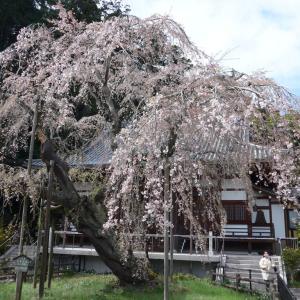 太平山の桜(1)