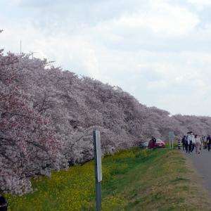 桜の時期の荒川サイクリングロード(1)熊谷桜堤