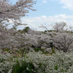 桜の時期の荒川サイクリングロード(3)森林公園花木園