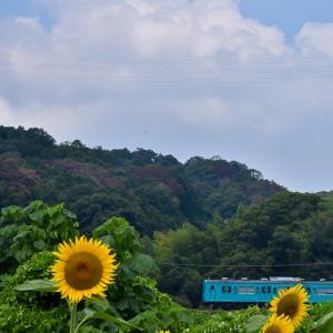 五條の向日葵畑へ! ④