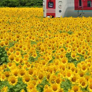 今年、いや、今まで見た中で最高の向日葵畑!