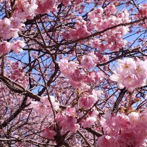 着物で桑田山の雪割り桜