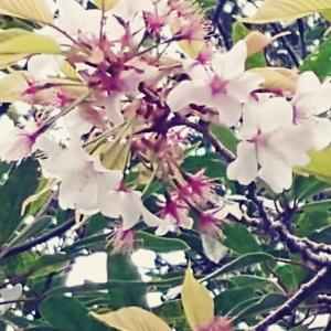 早すぎた桜巡り