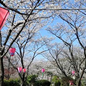着物で四万十市の桜と街歩き(動画有り)