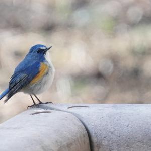 ルリ君と公園の鳥さん