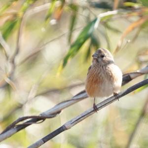 ひょっこりベニマシコ他・お山の鳥さん