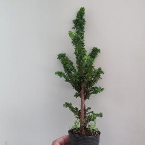 挿し木から作る