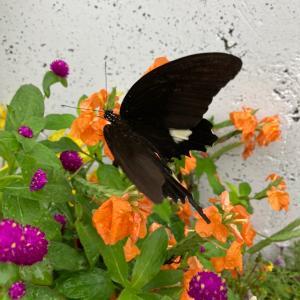 黒いチョウチョ
