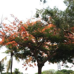 熱帯でも紅葉? @jababeka golf