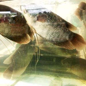 熱帯にいる魚は熱帯魚で普通なんだけど (0_0)、でも熱帯魚だよなぁ。魚屋さん