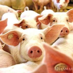 中国、喪失の豚2億頭か ASF猛威 養豚半減、豚肉生産25%減の分析