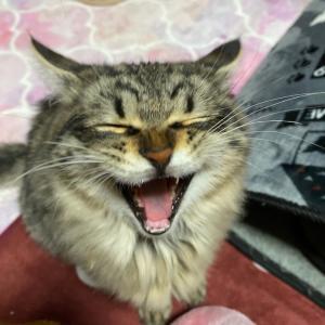 我が家と実家の猫あくび写真16枚