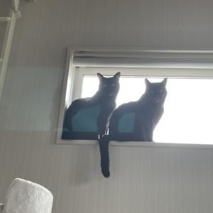 完全にシンクロしている窓際の黒猫たち