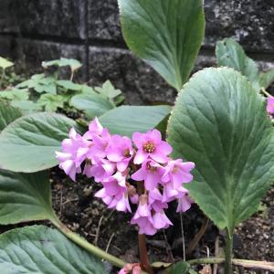 早春を告げるヒマラヤユキノシタ&コーネリア