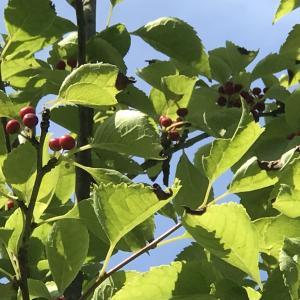 赤い実は?フンショウロウ、グリーンアイス開花