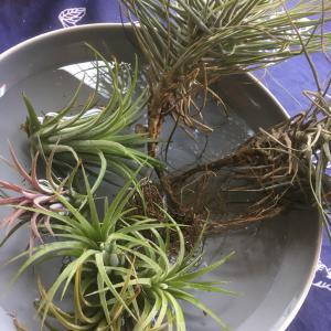 お手軽簡単バンコクで買える観葉植物エアープランツ