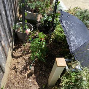 薔薇の苗を植え付けました