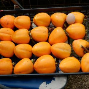 つるし柿の最後の収穫が終わりました