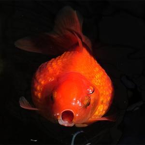 真っ赤な金魚の魅力