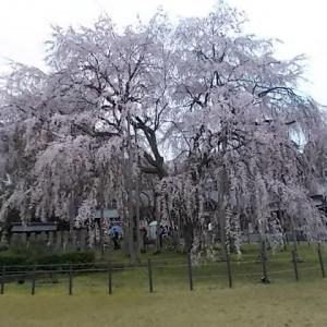 しだれ桜(足羽山)