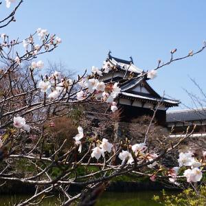 お城まつり直前に桜の開花状況をチェック!
