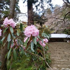 女人高野 室生寺にシャクナゲが揺れる