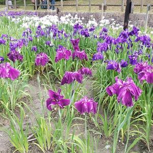 梅雨を彩る紫のグラデーションの花菖蒲