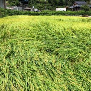 台風去って、ようやく稲刈りが。水はけが悪い田んぼでも、高性能コンバインですいすい。