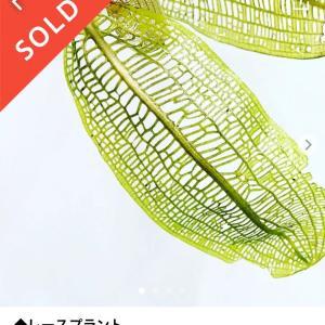 メリカリで購入 キレイな水草 レースプラント!!と、質問コーナー水草の名前教えて下さい