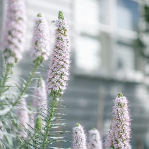 エキウム〜蜜蜂が集まる花〜