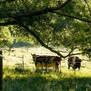 時々牛のことを考える