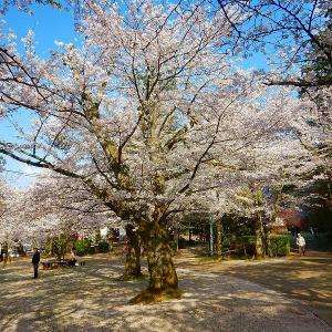 登校日と桜