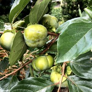 柿、不作〜長雨と低温の影響でしょうか?