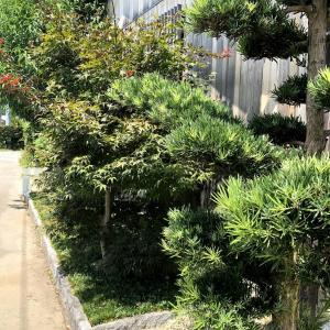 シンボルツリーに、エコライフ。春は赤、夏は深緑、秋は紅葉が綺麗なノムラモミジです。