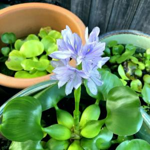 めだかの睡蓮鉢、布袋葵の花が咲いてます。