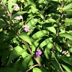 秋の粧い〜紫式部、藤袴に糸薄