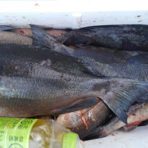 6月20日夕釣りの釣果