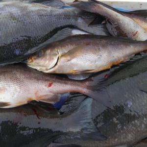 6月12日昼釣りの釣果